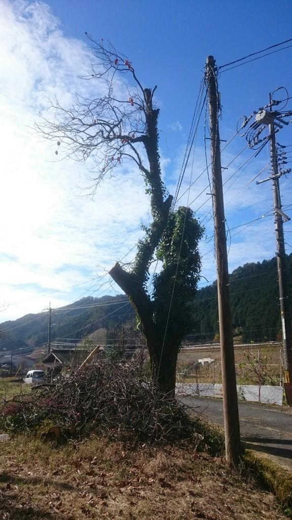 柿の木剪定後